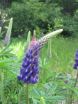 droopy lupin