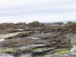 Hoiho on the Rocks