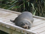 Snoozy Cruisy Seal
